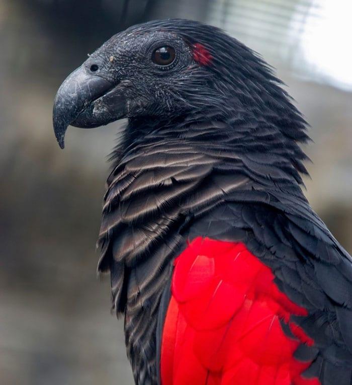 Pesquets dracula parrots birds new guinea 1 5e55392f17e1e 700