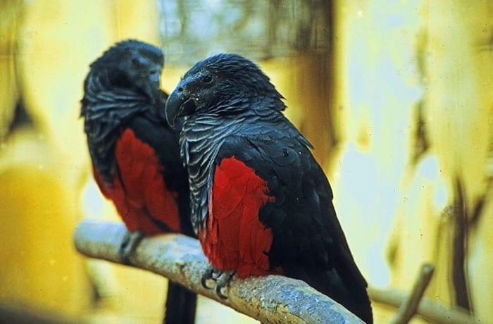 Pesquets dracula parrots birds new guinea 5 5e5539375c961 700